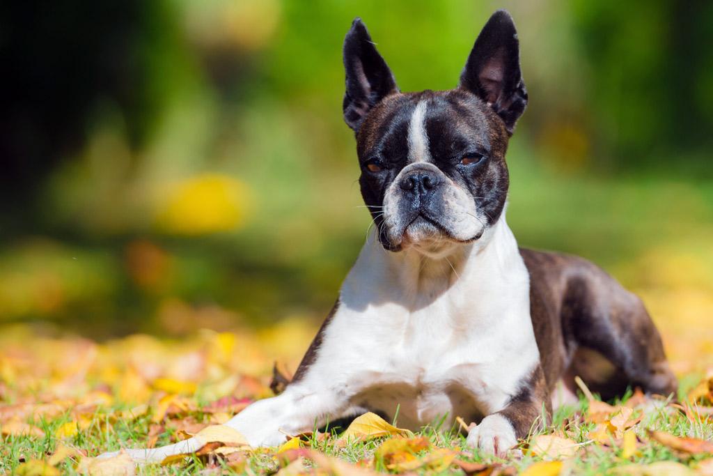 boston-terriers-intelligence-ranking