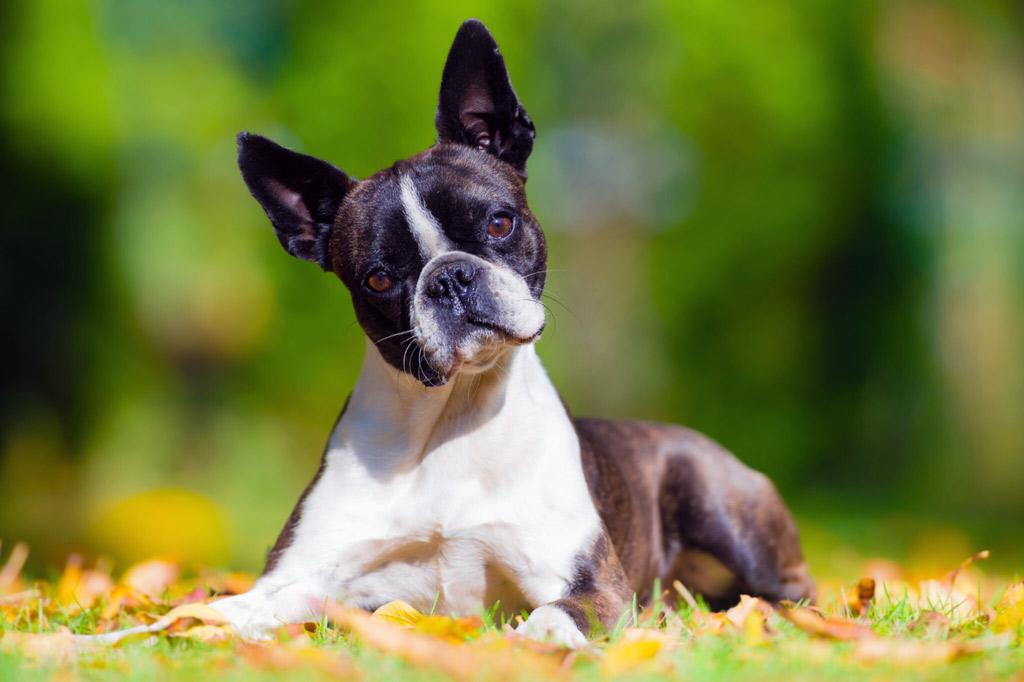 boston-terriers-intelligence