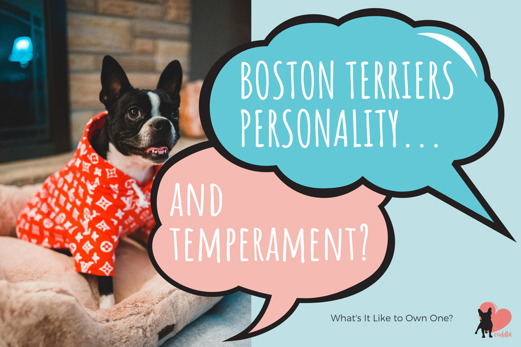 boston-terriers-personality