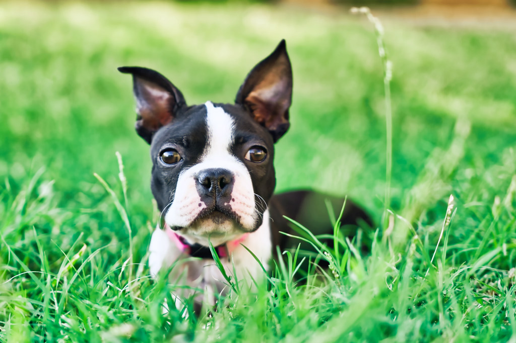 boston-terriers-puppy-erect-ears