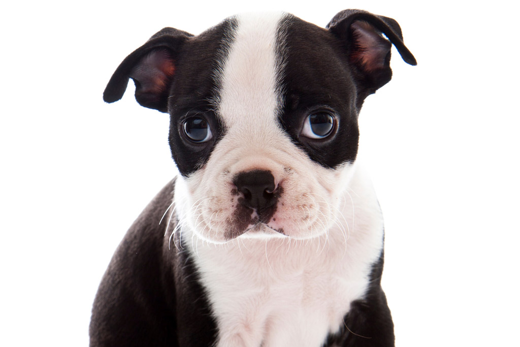 boston-terriers-puppy-floppy-ears