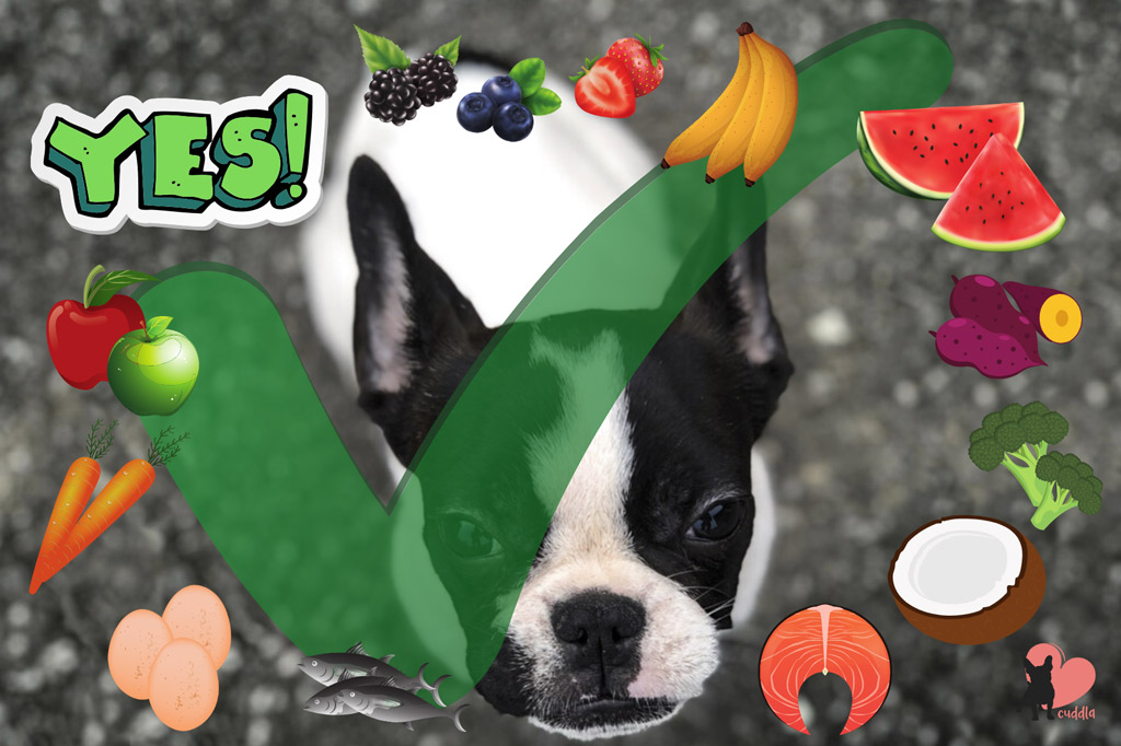 boston-terriers-safe-human-foods