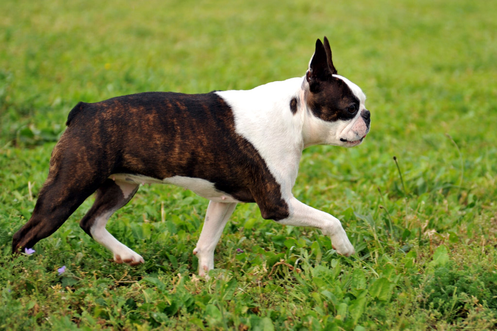 boston-terriers-tail-facts