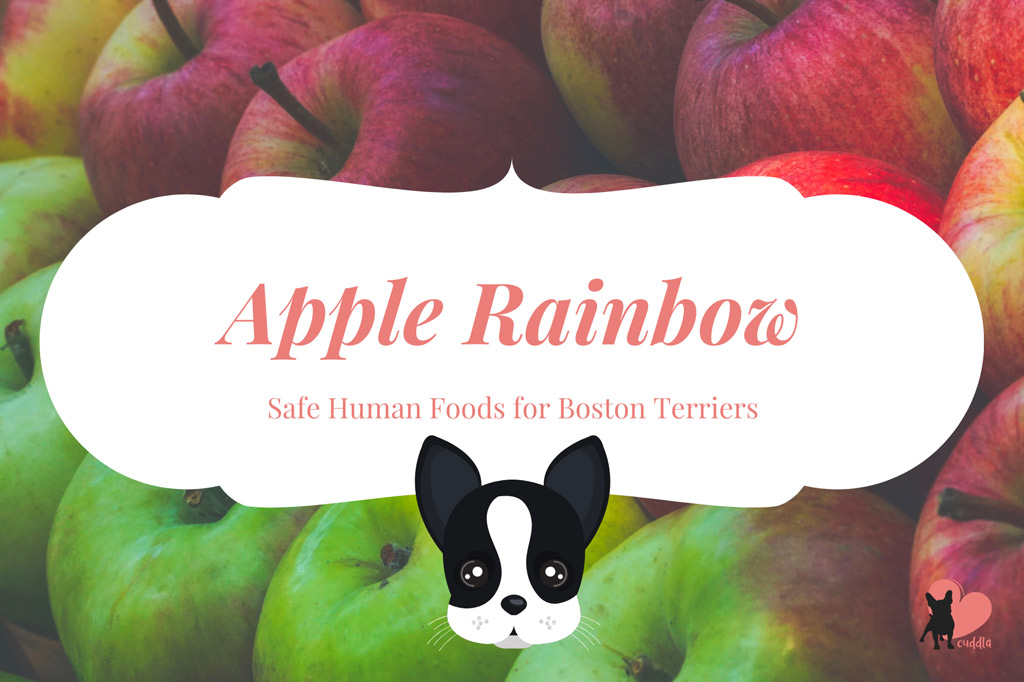 can-a-boston-terrier-eat-apples