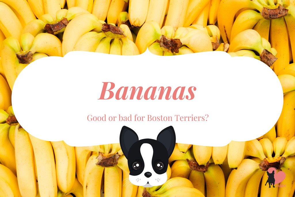 can-a-boston-terrier-eat-bananas