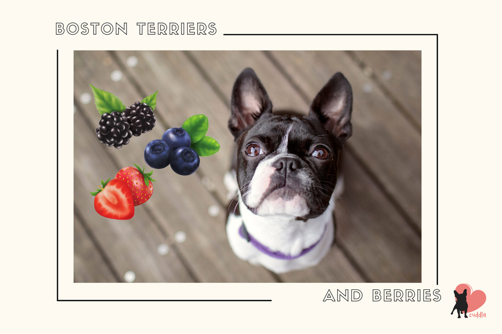 can-a-boston-terrier-eat-berries