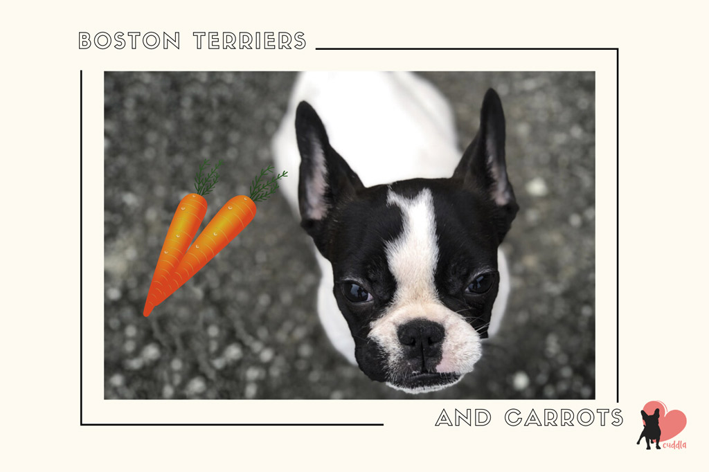can-a-boston-terrier-eat-carrots
