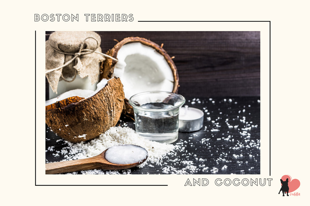 can-a-boston-terrier-eat-coconut