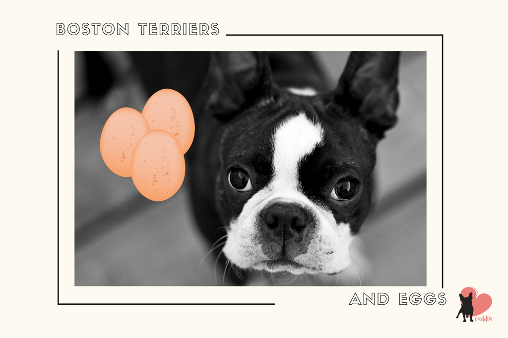 can-a-boston-terrier-eat-eggs