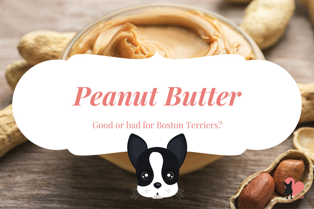 can-a-boston-terrier-eat-peanut-butter