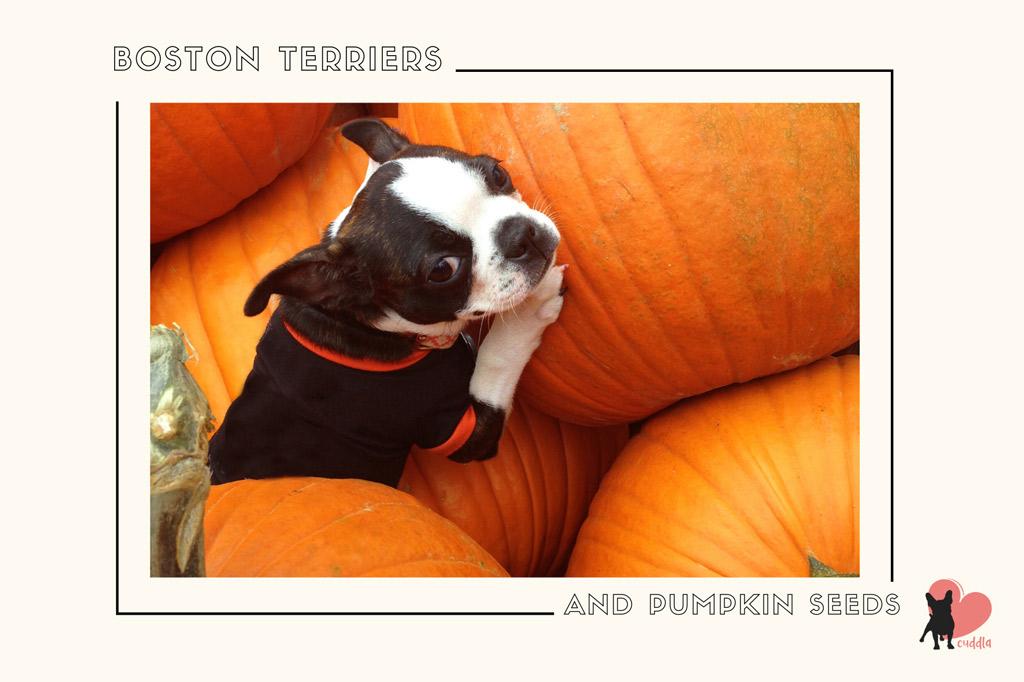 can-a-boston-terrier-eat-pumpkin-seeds