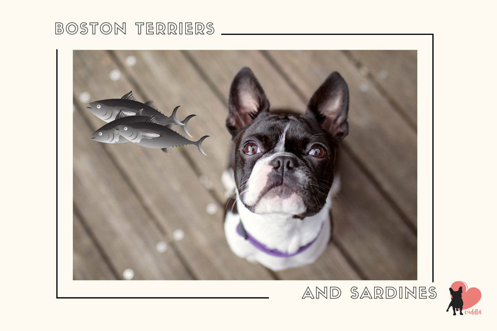can-a-boston-terrier-eat-sardines