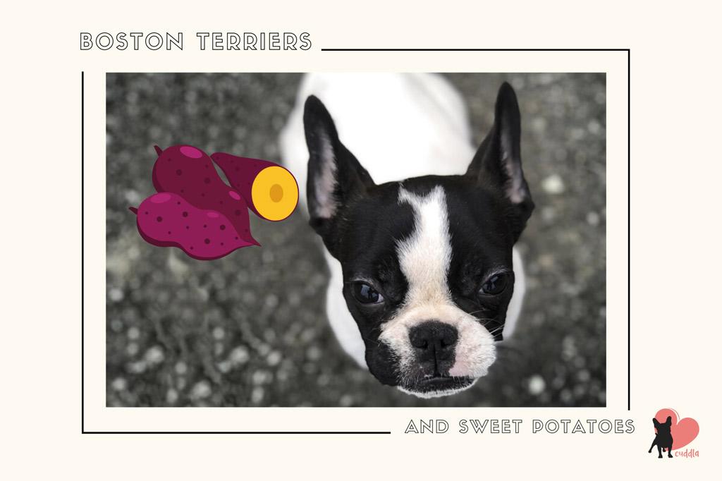 can-a-boston-terrier-eat-sweet-potatoes