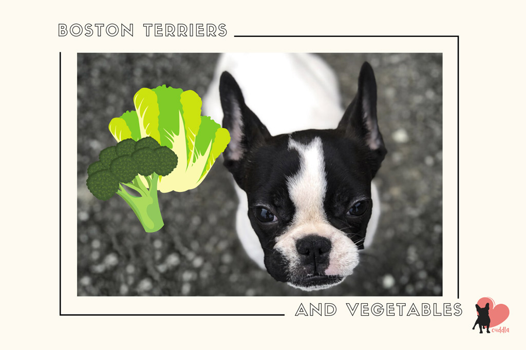 can-a-boston-terrier-eat-vegetables