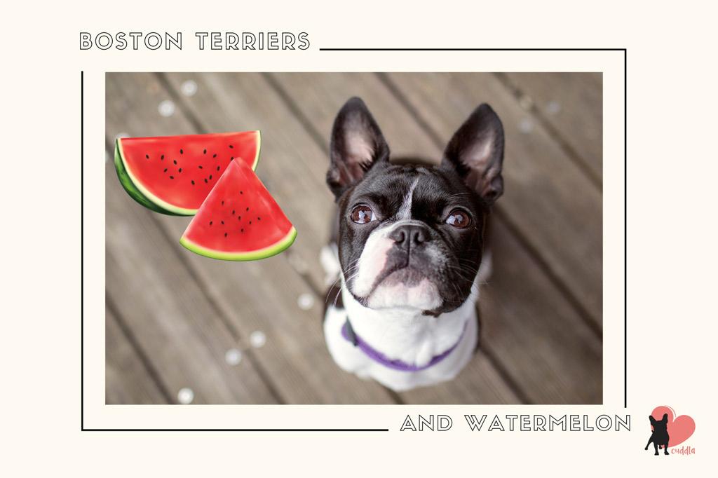 can-a-boston-terrier-eat-watermelon