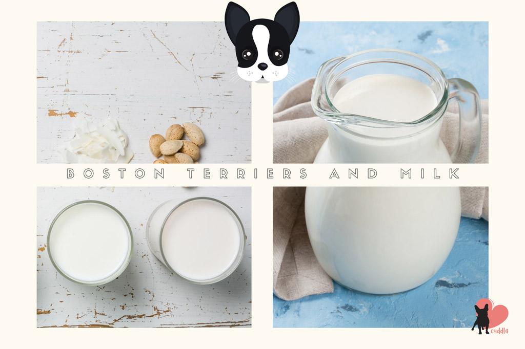 can-boston-terriers-drink-milk