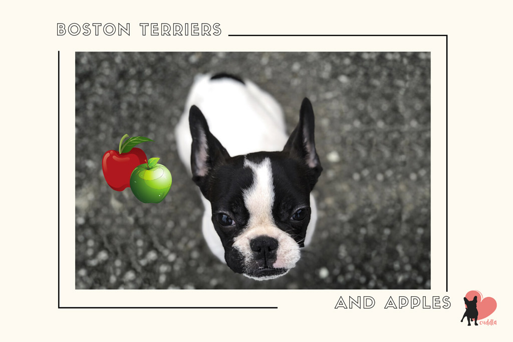 can-boston-terriers-eat-apples