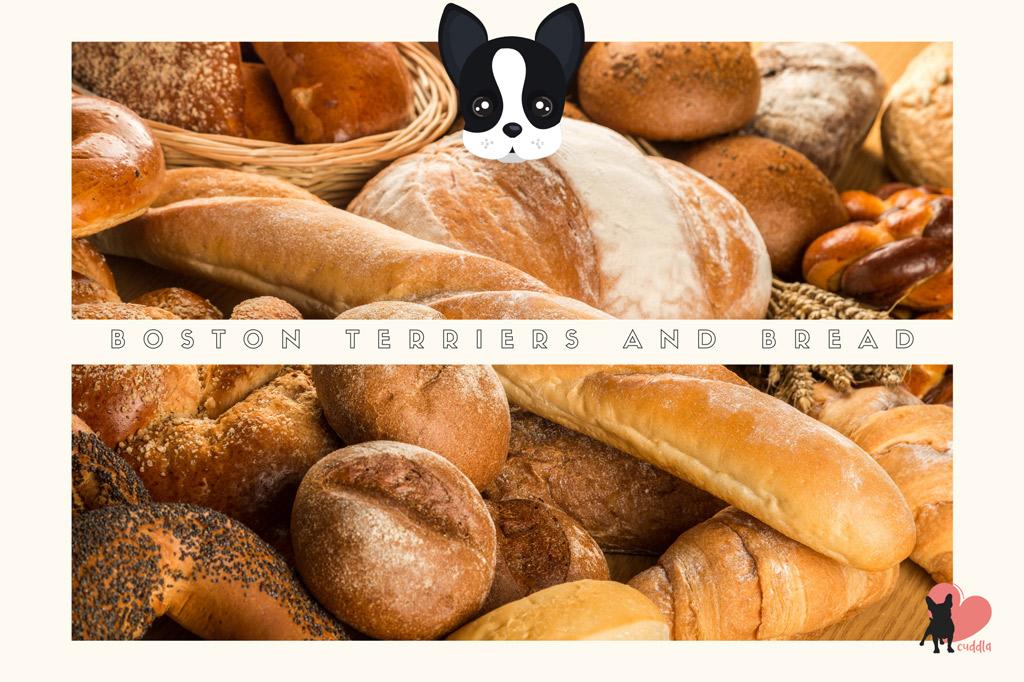 can-boston-terriers-eat-bread