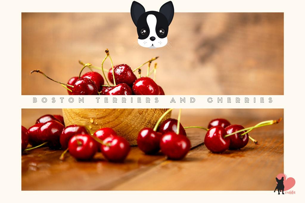 can-boston-terriers-eat-cherries