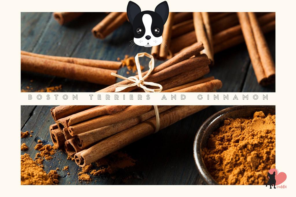 can-boston-terriers-eat-cinnamon