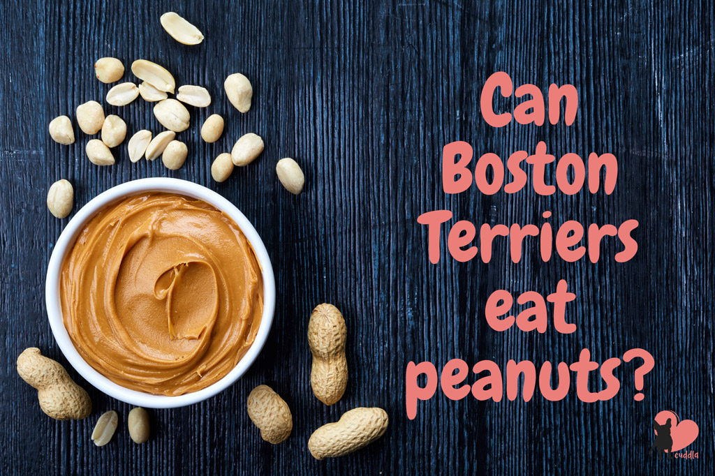 can-boston-terriers-eat-peanuts