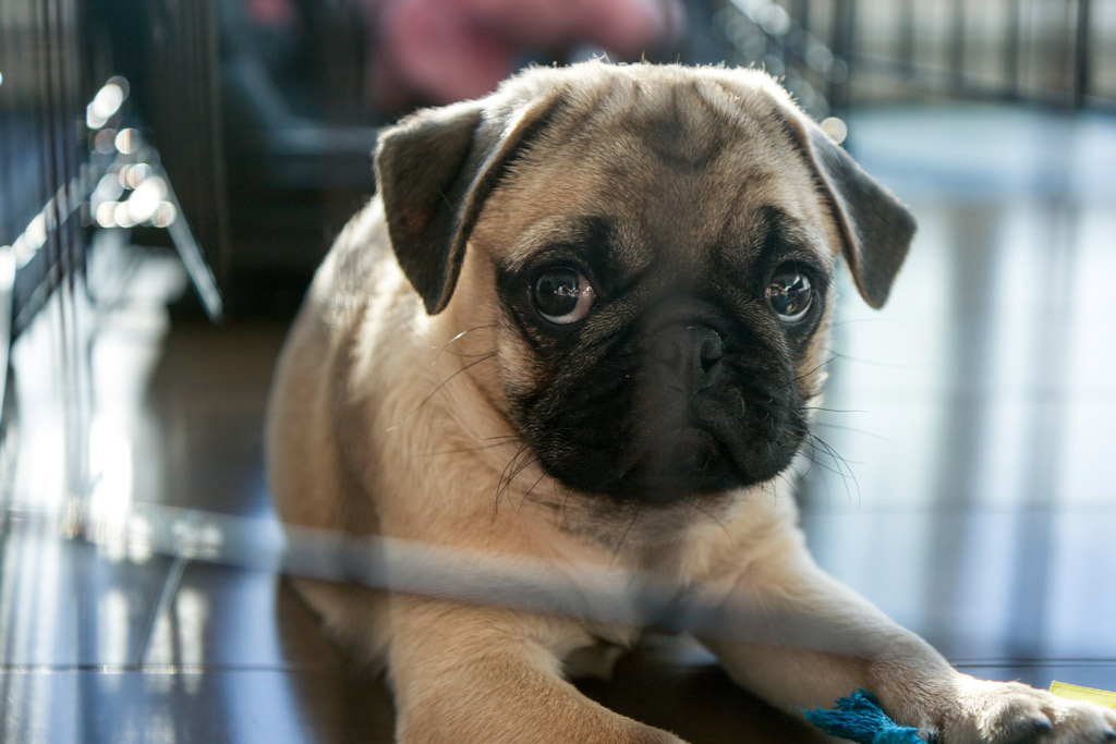 can-pug-puppies-be-left-alone