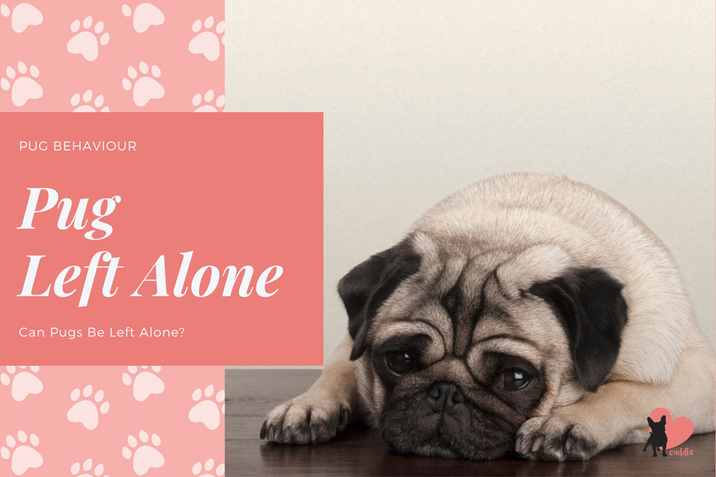 can-pugs-be-left-alone