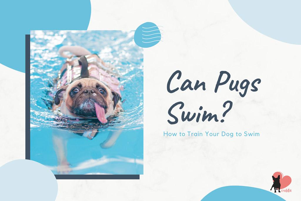 can-pugs-swim