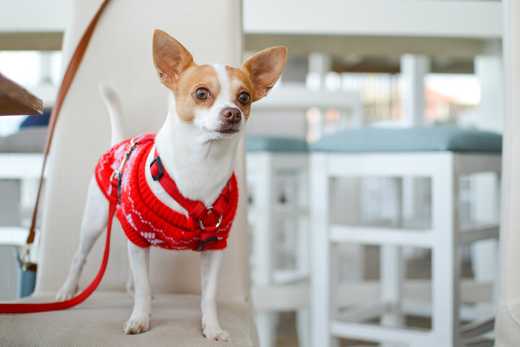 chihuahua-dog-with-jumper