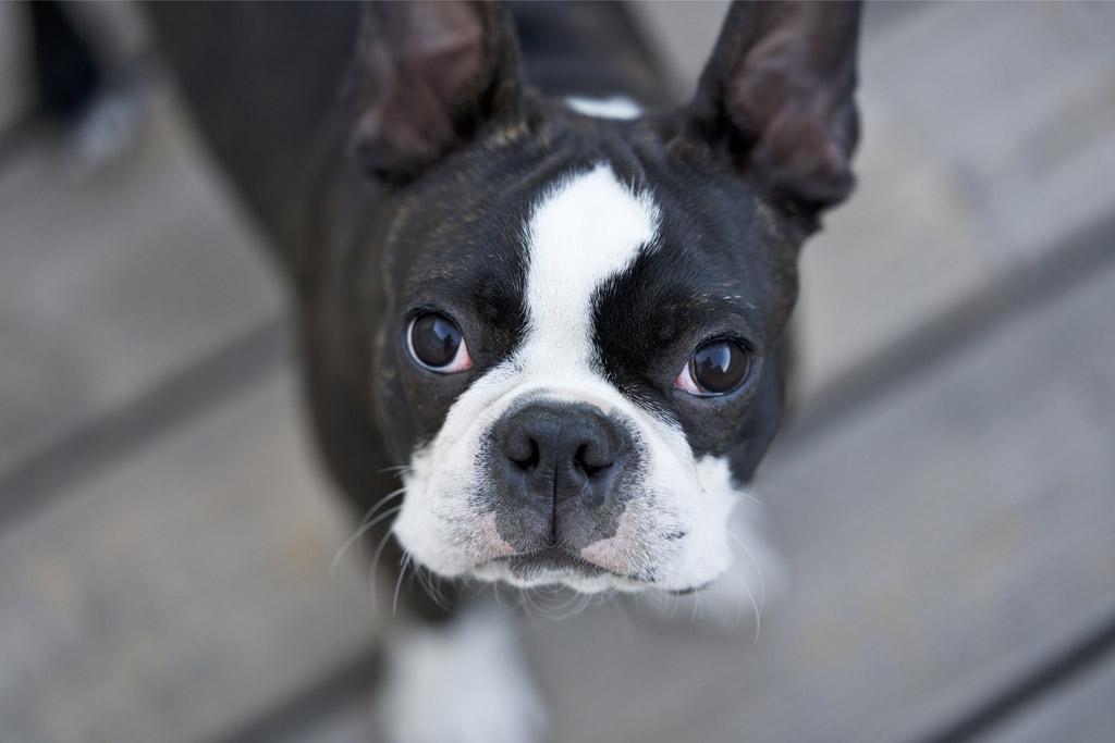 do-boston-terriers-drool