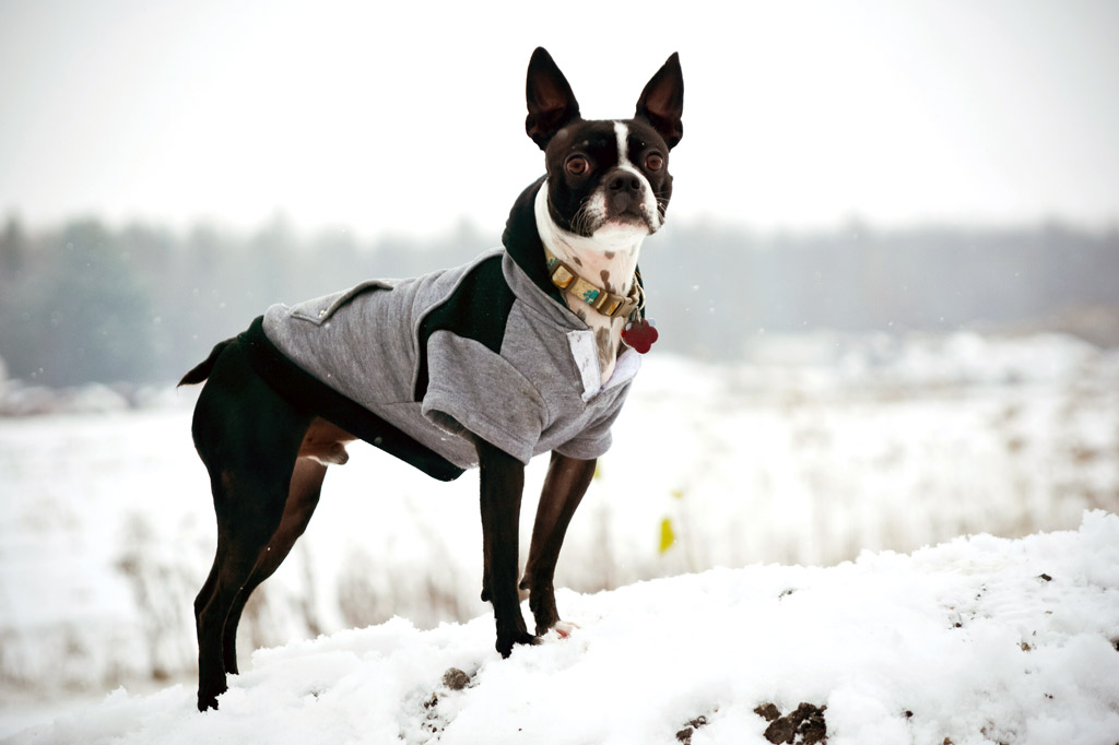 do-boston-terriers-like-snow