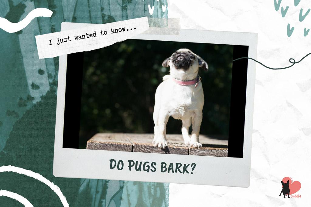 do-pugs-bark