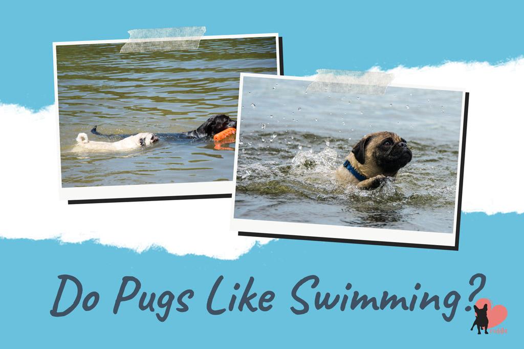 do-pugs-like-swimming