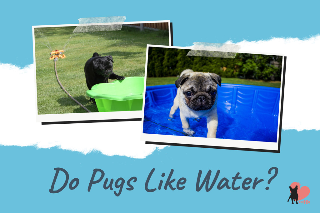 do-pugs-like-water
