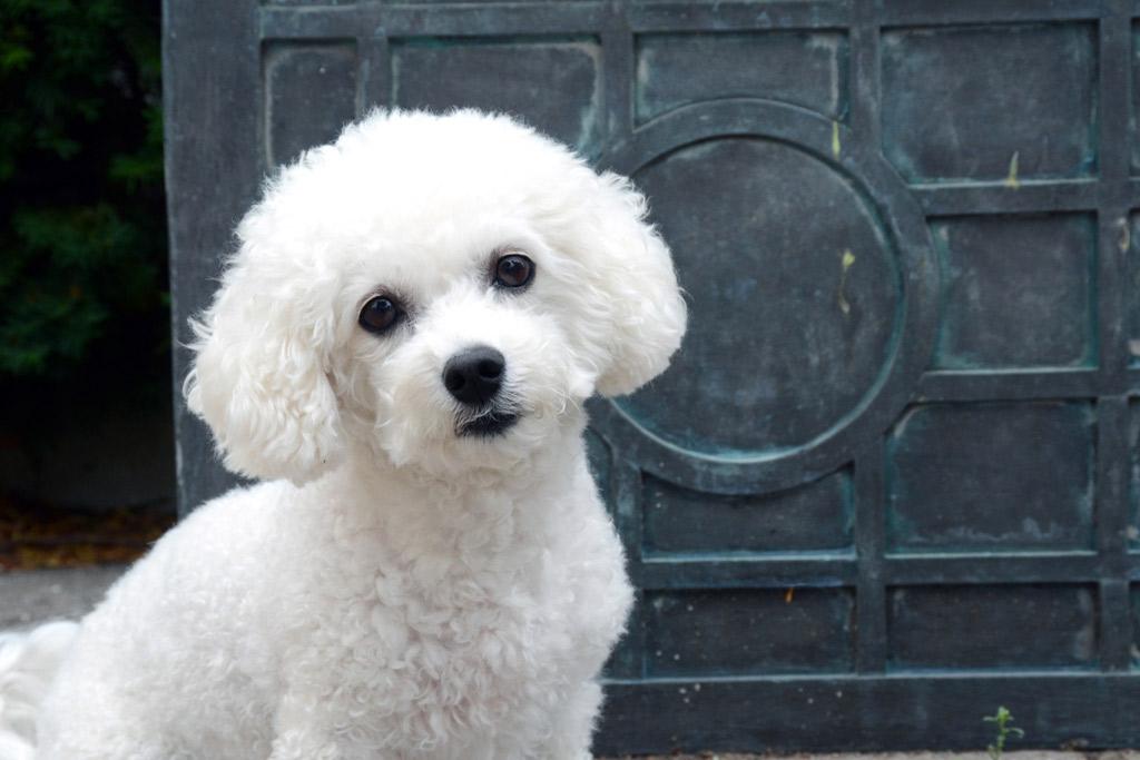 dog-breed-bichon-frise
