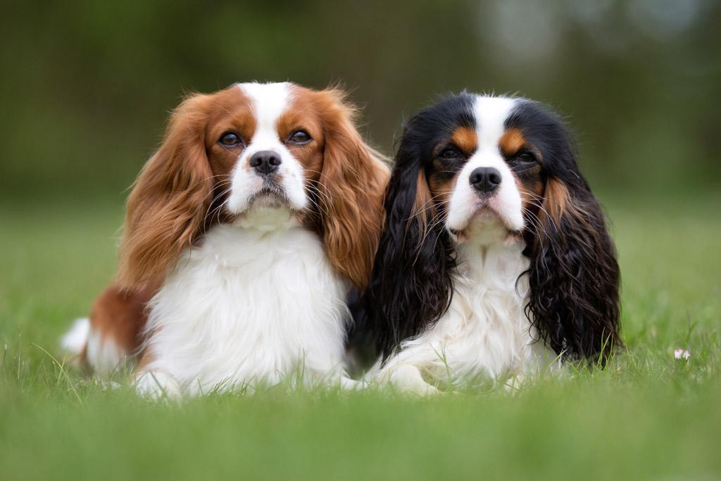 dog-breed-cavalier-king-charles-spaniel