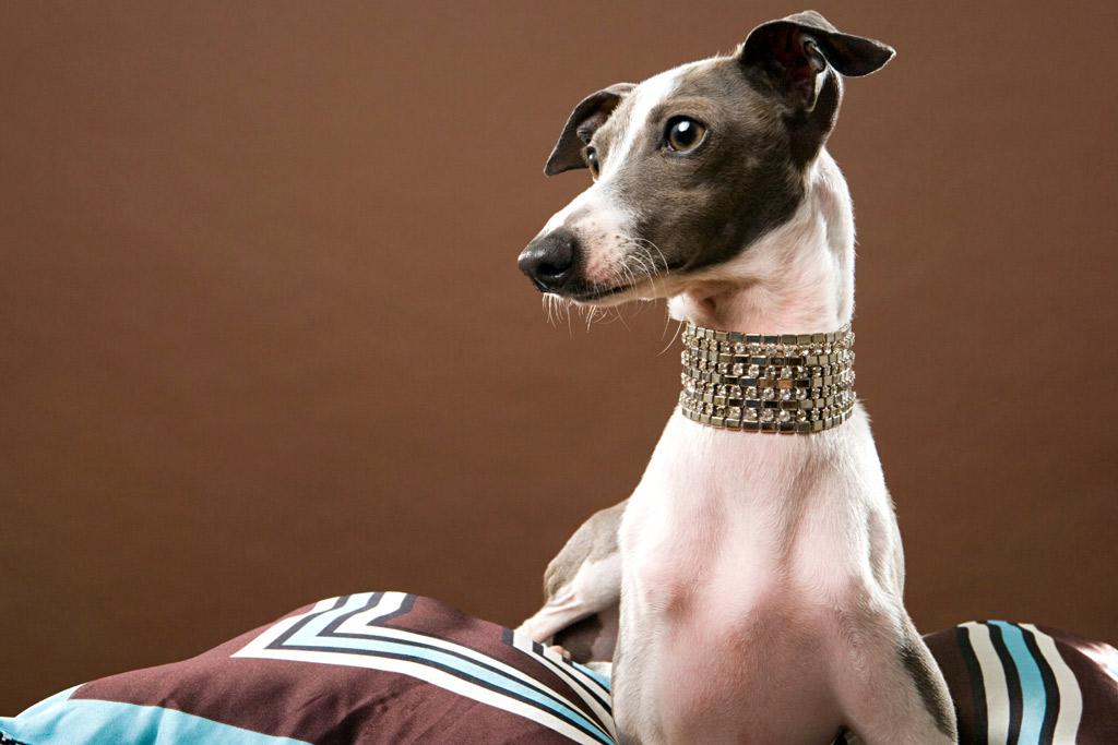 dog-breed-italian-greyhound