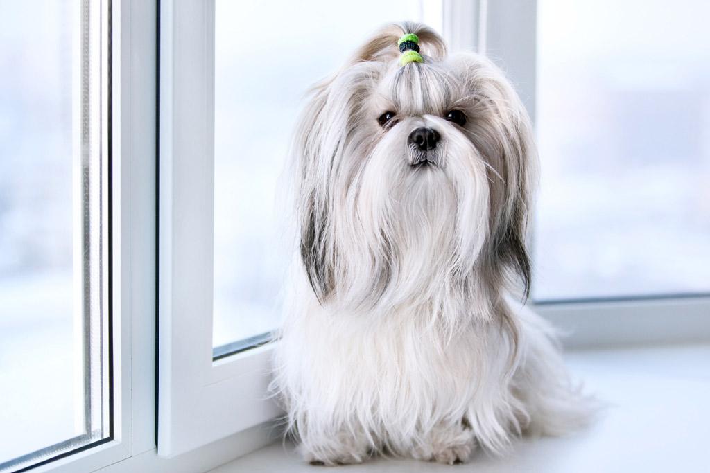 dog-breed-lhasa-apso