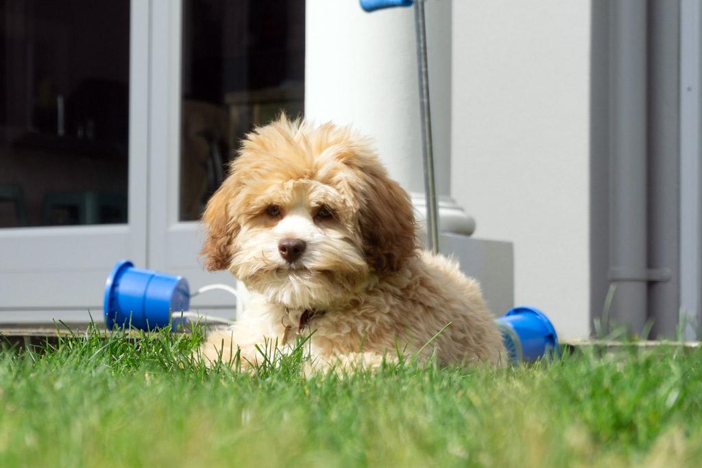 dog-breed-lowchen