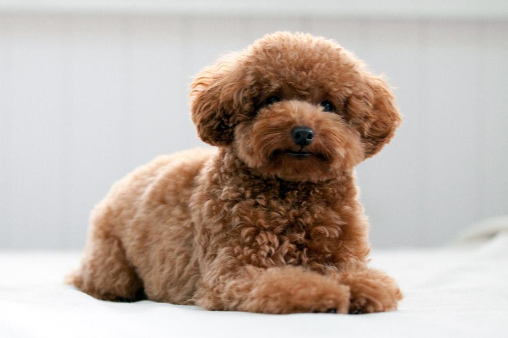 dog-breed-miniature-poodle