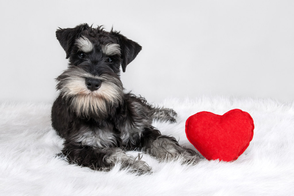 dog-breed-miniature-schnauzer