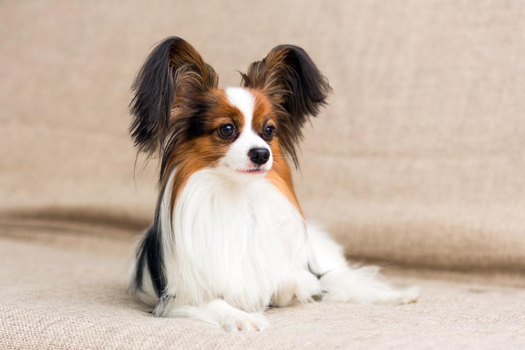 dog-breed-papillon