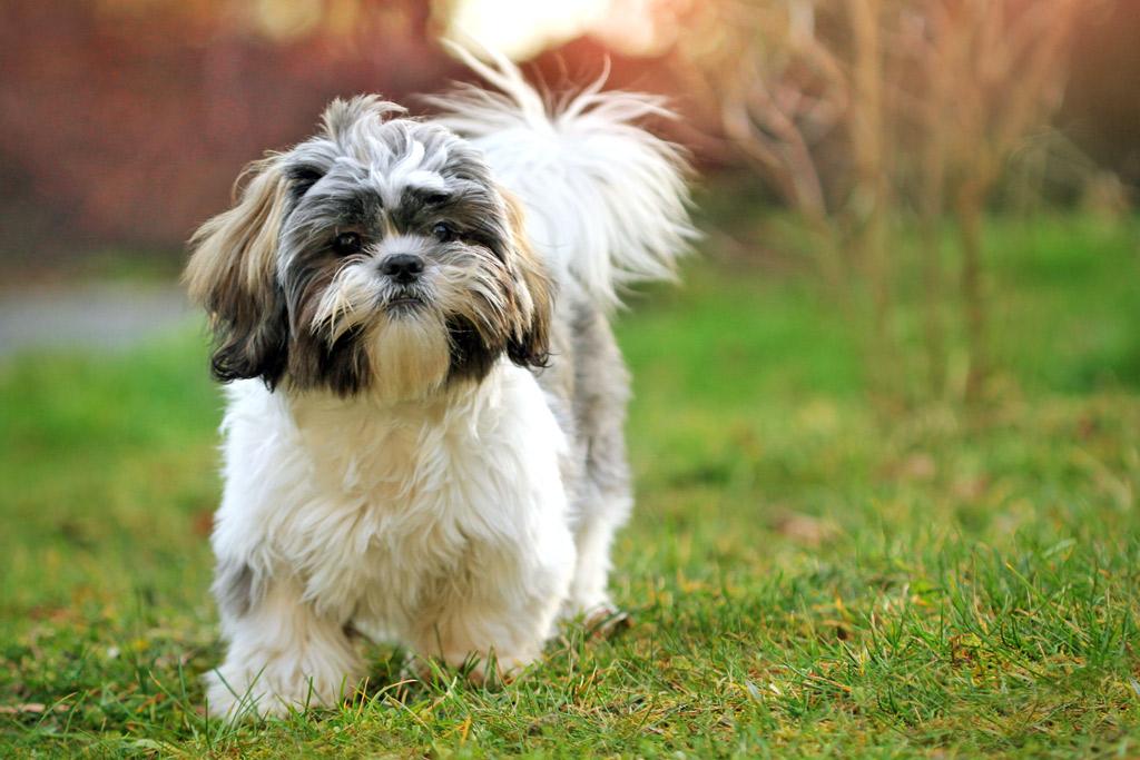 dog-breed-shih-tzu
