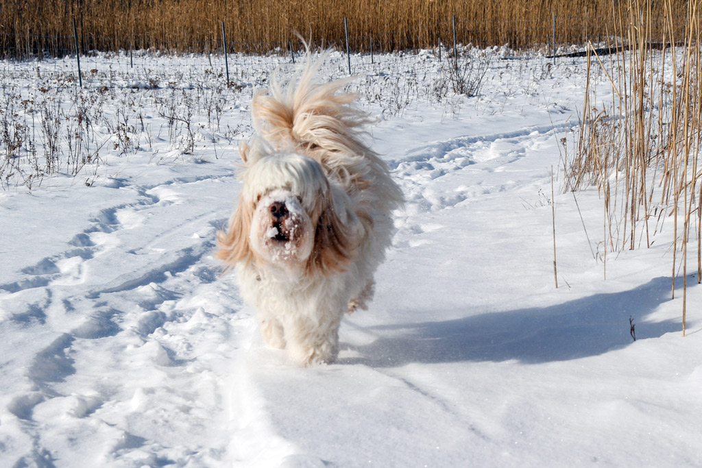 dog-breed-tibetan-terrier