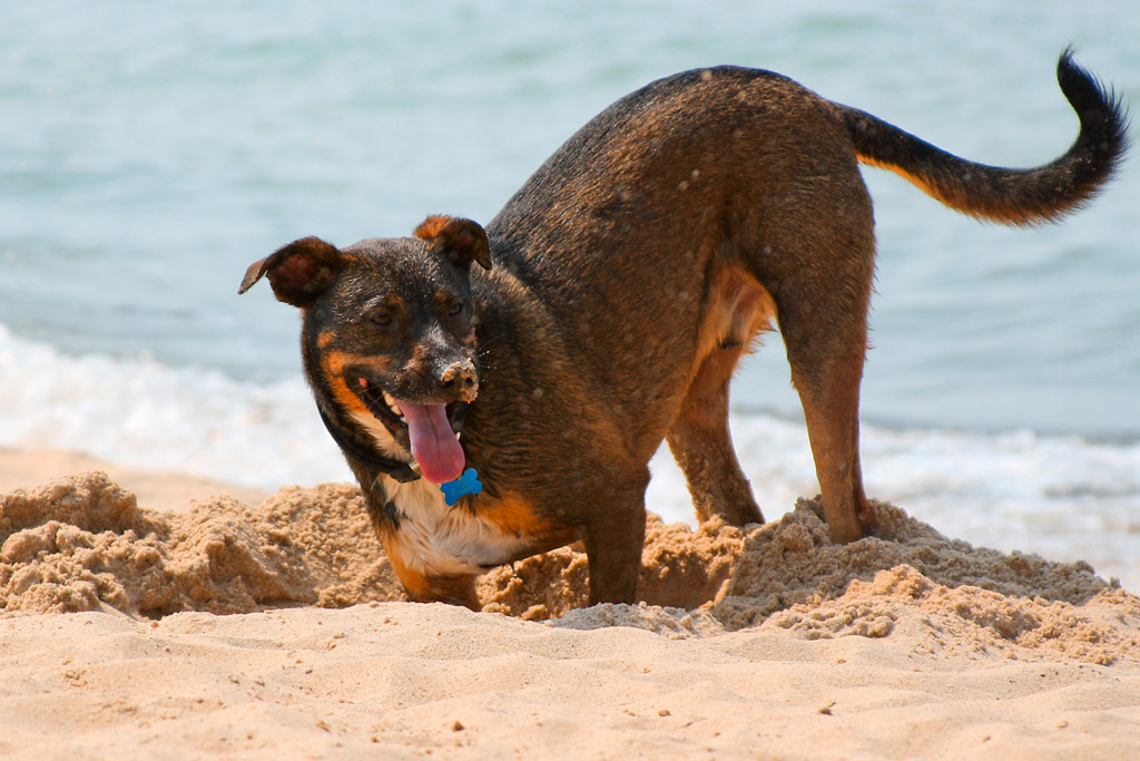 dog-digging-adventures-beach