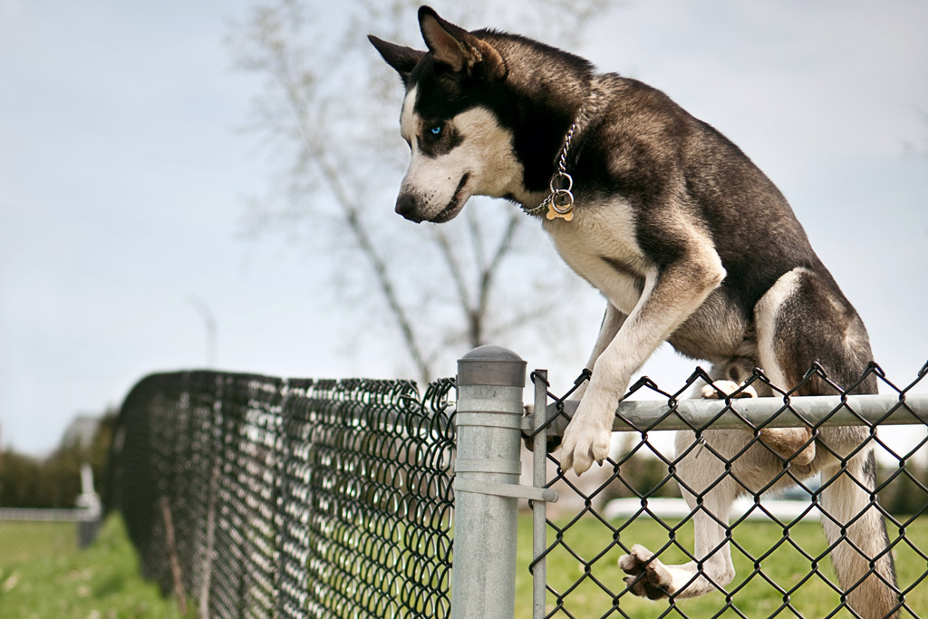 dog-escaping-jumping-fence