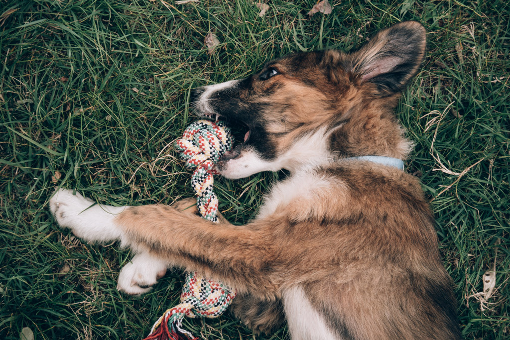 dog-facts-chewing-rope-toy
