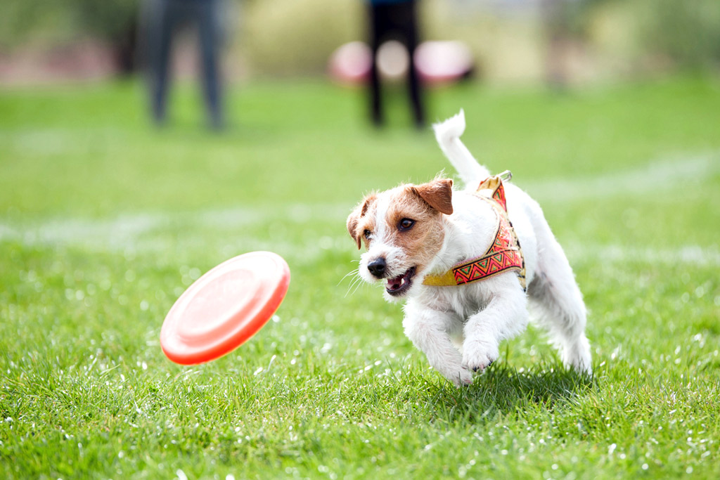 dog-games-retrieve-frisbee