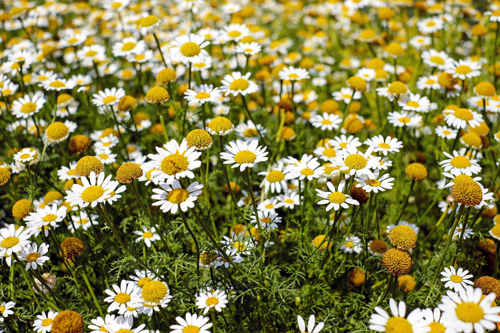 dog-natural-remedies-camomile