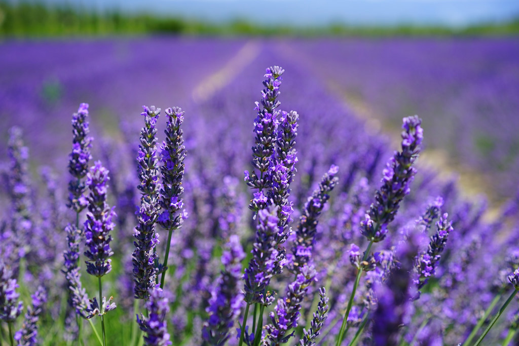 dog-natural-remedies-lavander